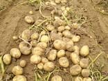 Картофель из Беларуссии - фото 1