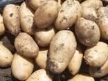 Картофель из Беларуссии - фото 2