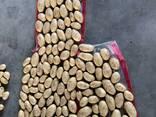 Картофель Спунта - фото 2