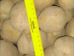 Картофель урожай 2019г. Сетевое качество.