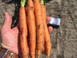 Морковь оптом производство РБ