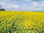 Озимые семена пшеницы, ячменя, рапса от производителя Украины - фото 3