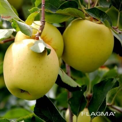 Продаем яблоки!