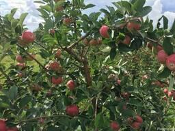 Продаем яблоки отменного качества летниx сортов 2018 - фото 2