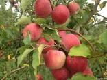 Продаем яблоки собственного производства-выгодно - фото 2