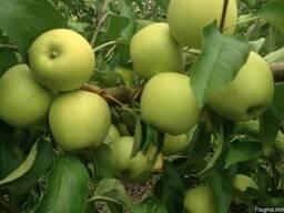 Продаем яблоки собственного производства-выгодно - фото 3