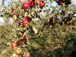 Продаём летние сорта яблока и сливы - фото 2