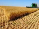 Пшеница - фото 3