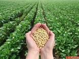 Семена кукурузы, сои, подсолнечника, пшеницы, ячменя, рапса, гречк - фото 5