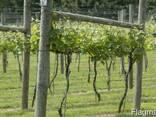 Столбики круглые виноградные - фото 4