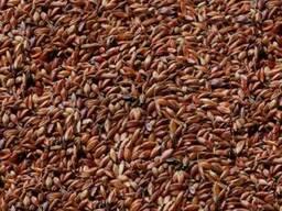 Суданка посевная новый урожай украинского производителя