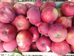 Яблоки летние