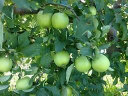 Яблоки Мутсу/Криспин - фото 4
