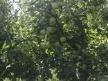 Яблоки Мутсу/Криспин - фото 6