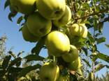 Яблоки оптом - фото 1