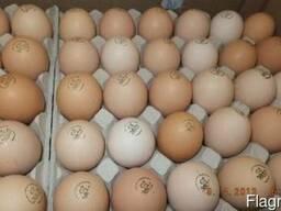 Яйца инкубационные качественные пропечатанные - птицы