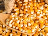 Yellow corn - photo 2